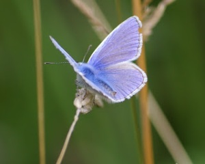 The Little Blue Butterfly